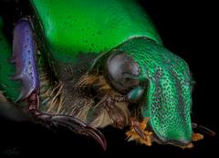 Beetle (Pygora prasinella) (robert.vierthaler) Tags: olympus omd em1 macro macrophotography beetle nature microscope rail rs90 nikon insects