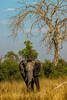 tree bends over elephant (PhilHydePhotos) Tags: africa botswana elephants kuando kwando lagooncamp safari
