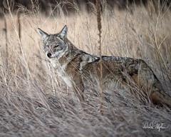 I see you... (dcstep) Tags: dsc0318dxo sonya7riii fe100400mmf4556gmoss cherrycreekstatepark colorado usa aurora allrightsreserved copyright2017davidcstephens dxophotolab captureone coyote wildcanine westerncoyote eyes grass lowlight highiso handheld