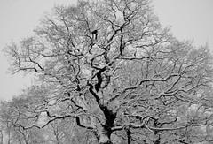 The Snow Tree (AM5555) Tags: winter nikon nature naturephotography blackandwhite bn bnw weather december nikkor schnee white frozen outside