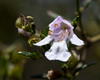 Hemigenia cuneifolia ([S u m m i t] s c a p e) Tags: bluemountains hemigeniacuneifolia lamiaceae leura mthayroad mauve nativeplants summer newsouthwales australia