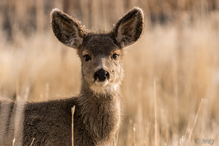 Mule Deer Youngster