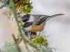 Go away Human. (Omygodtom) Tags: wild wildlife chickadee bokeh bird outside 7dwf dof d7100 contrast diamond nikon70300mmvrlens oaksbottom moss real
