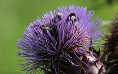 Consiglio (lincerosso) Tags: fiori flowers pianteorticole pianteornamentali insettipronubi bombi bombussp carciofo cynarascolymus estate bellezza armonia
