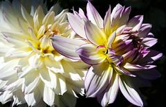 Flores | Flowers | Fleurs | Fiori | Blumen | цветы (António José Rocha) Tags: portugal flores beleza cores