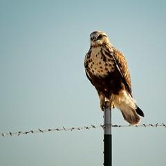 """Northern Harrier Hawk (mtmelody14) Tags: hunter harrier """"barbedwire"""" bird raptor hawk northernharrierhawk"""