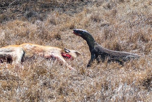 Komodo Dragon Eating