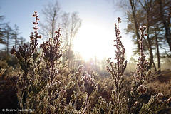 Warming heather (Desireevo) Tags: netherlands nederland veluwe heather heide desireevanoeffelt nature outdoors hiking hike forest tree trees sun suisse sunlight sunshine sunrays winter winterscape canon