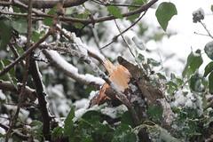 IMG_3452 (Jeff And) Tags: harrow greenhill bonnersfieldlane walk trees split branch