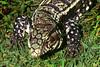 Lagarto overo. (jagar41_ Juan Antonio) Tags: reptil lagarto lagartoovero animal