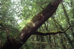 Woods 13 (avenwildsmith) Tags: wood woods forest tree trees moss dappled film 35mmfilm 35mm kodakretinette1b kodak dappledlight nature england analog analogue summer green leaves trunk bough devon britain shadow shadowy wild leaning