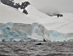 Whale and glaciers!  Wilhemina Bay, Antarctic Peninsula. Feb. 2016. (Ruby 2417) Tags: whale wildlife nature antarctica antarctic glacier ice snow coast ocean sea gray white