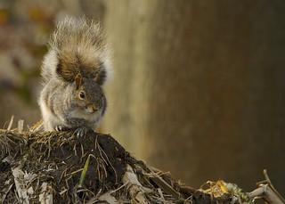 Grey Squirrel DSC_8079
