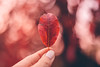 Red Autumn (freyavev) Tags: red autumn leaf redleaf autumnwhimsy autumncolors bokeh 50mm mikasniftyfifty niftyfifty vsco canon canon700d bokehlicious depthoffield hand fingers outdoor
