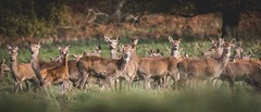 Chatsworth Deer (Forty-9) Tags: ef70200mmf28lisiiusm eos60d chatsworth eflens lightroom canon deer december forty9 deerherd herd 2017 wildlife tomoskay chatsworthdeer doe reddeer