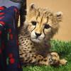 Peek-A-Boo! (Penny Hyde) Tags: babyanimal bigcat cheetah cub dheetahcub safaripark