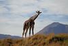 Desert Safari (greekgal.esm) Tags: reticulatedgiraffe giraffe animal mammal livingdesertzoo livingdesert palmdesert sony rx10m3 rx10iii