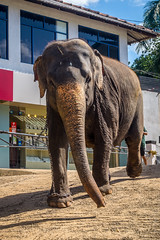 on the run (tattie62) Tags: elephant running srilanka pinnawala orphanage conservation travel tourism elephantorphanage chains shop street jewellers animal places excited excitement