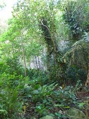 Wailua River State Park - Fern Grotto (25) (pensivelaw1) Tags: hawaii kauai wailuariverstatepark ferngrotto