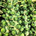 Brussels Sprouts Stalks at Trader Joes - West Hollywood, CA