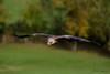 Yellow Billed Kite (Ukfalc) Tags: bird kite yellowbilledkite flight milvusaegyptius icbp internationalcentreforbirdsofprey newent gloucestershire canon 7dii 70300l 2017