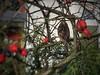 Suchbild -  Hidden Sparrow (Sockenhummel) Tags: spatz sperling sparrow vogel bird hecke hedge tier berlin bundesplatz