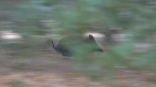 Sus scrofa (Wild boar / Wild zwijn)
