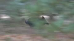 Sus scrofa (Wild boar / Wild zwijn) (Bas Kers (NL)) Tags: jan 2018 hogeveluwe oudreemst gelderland netherlands europe