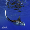 Fractured reflection (bodiver) Tags: hawaii ambientlight wideangle tokina1017mm manta mantaray reflection ray blue ocean snorkeling fins