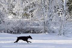 DSC_0028 (justinluv) Tags: achilles dog canine dobe dobie doberman dobermanpinscher eurodoberman