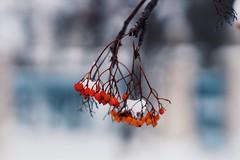 (raisalachoque) Tags: berries ashberry closeup bokeh winter red decoration flora 7dwf