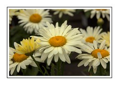 Happy Daisies (Audrey A Jackson) Tags: canon60d devon rhs rosemoor daisies colour white yellow nature petals closeup 1001nightsmagiccity 1001nightsmagicgarden