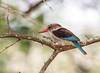 Brown-hooded Kingfisher  (Halcyon albiventris)  Braunkopfliest (jaffles) Tags: southafrica südafrika krügernationalpark kruger np wildlife safari natur nature beautiful olympus