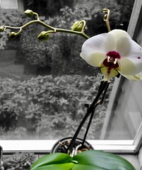 """That's life for you. All the happiness you gather to yourself, it will sweep away like it's nothing."" ―Junot Díaz 🌸 (anokarina) Tags: seattle washington wa pnw pacificnorthwest pugetsound appleiphone5s colorsplash orchid flower white blossom bloom southdelridge window"