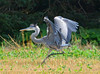Great Blue Heron being chased away by another heron (ctberney) Tags: greatblueheron ardeaherodias bird blue upset fighting territory nature
