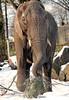 african elephant Ouwehands BB2A1038 (j.a.kok) Tags: olifant elephant afrikaanseolifant africanelephant africa afrika animal ouwehands mammal zoogdier dier ouwehandsdierenpark herbivore snow sneeuw