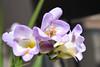 Bee on Board (maytag97) Tags: maytag97 nikon d750 honey bee wing sunshine sunny nature natural closeup lavender color insect