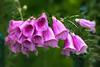 Jingle Bells (Ben-ah) Tags: foxglove flower jinglebell bell macro christmas bbg brooklynbotanicgarden garden