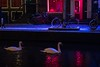 Swans of red light (Ralph Rozema) Tags: amsterdam redlight canal swans holanda netherlands