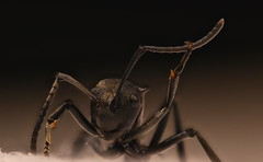 Polyrhachis dives (Andy Sags) Tags: polyrhachis dives festive ant macro photo stacking