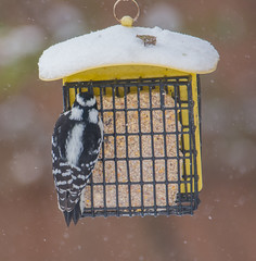 Downy Woodpecker (Picoides pubescens) (ekroc101) Tags: birds downywoodpecker picoidespubescens illinois elmwoodpark