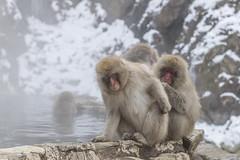 _RJS2394 (rjsnyc2) Tags: 2017 asia d850 day hokkaido japan monkeypark nagano nikon nikond850 onsen park remotesilver remoteyear richardsilver richardsilverphoto richardsilverphotography snowmonkeys travel travelphotographer travelphotography travelphotographykampot unesco animals monkey snow winter