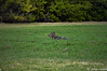 20171227-DSC_0053 (Soccerdadfromfl) Tags: coyotes wild florida dogs field nature