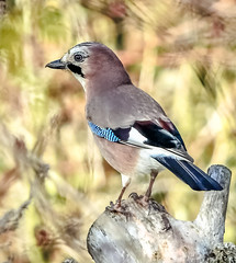 Jay bird (Paul Wrights Reserved) Tags: bird birding birdphotography birdwatching jay bokeh