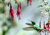 IMG_9404 Booted Racket-tail (suebmtl) Tags: ecuador pichinchaprovince birding bird hummingbird mindolindo mindo female bootedrackettail inflight ocreatusunderwoodii melanantherus