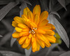 Petals of Orange (that_damn_duck) Tags: petals plant blossom blooming nature