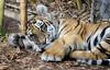 Big Paw (greekgal.esm) Tags: bengaltiger tiger cub babyanimal bigcat cat feline animal mammal carnivore moka sandiegozoosafaripark sandiegozoo safaripark escondido sandiegozooglobal sdzglobal sdzsafaripark sony rx10m3 rx10iii