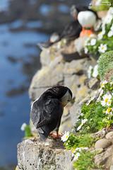 Plumage care (dieLeuchtturms) Tags: lunde vestfirðir alkenvögel meer europa steilküste 2x3 wirbeltiere látrabjarg regenpfeiferartige island papageitaucher europe fraterculaarctica iceland westfjörde cliff puffin rockyshore sea westfjords is