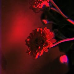 somber (meeeeeeeeeel) Tags: mood flower röd rooi rot rouge vermelho rojo rosso red lowylens zamafilm apolloflash