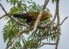 IMG_7578 (jaglazier) Tags: 121717 2017 capok copyright2017jamesaglazier december deciduoustrees ecuador napowildlifepreserve naturepreserves orellana trees animals birds oropendola parks orellanaprovince